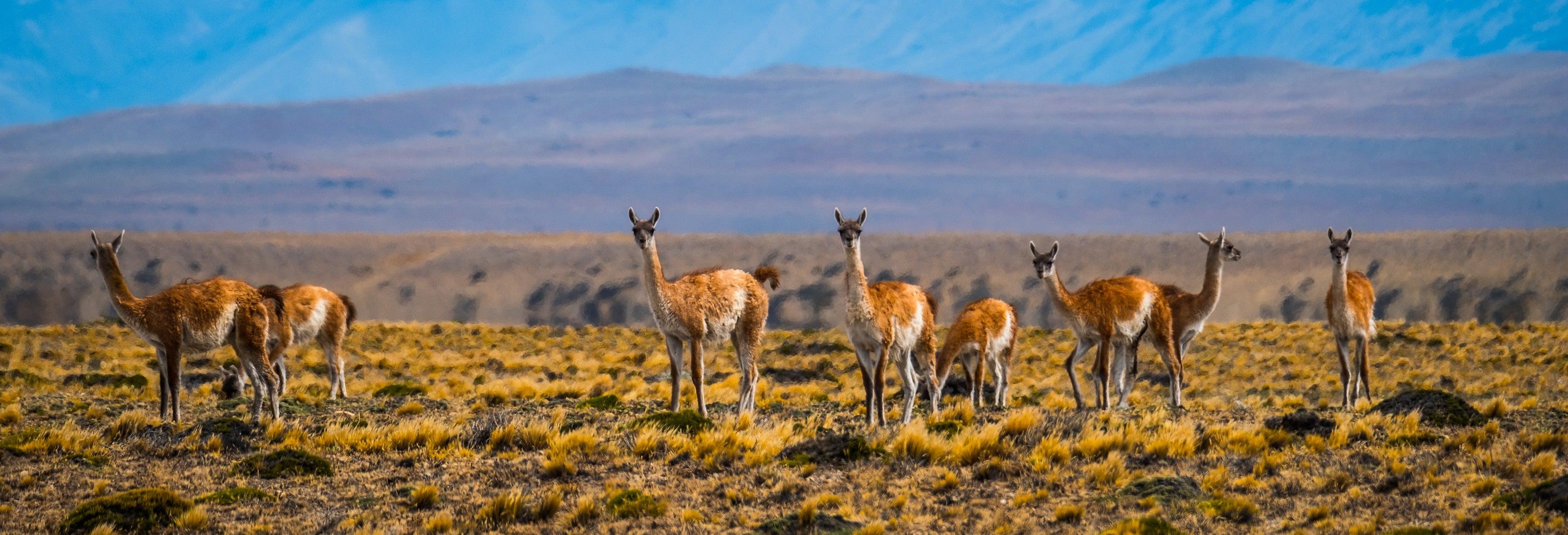 Safari à El Calafate