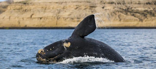 Avistamiento de ballenas en la Península Valdés
