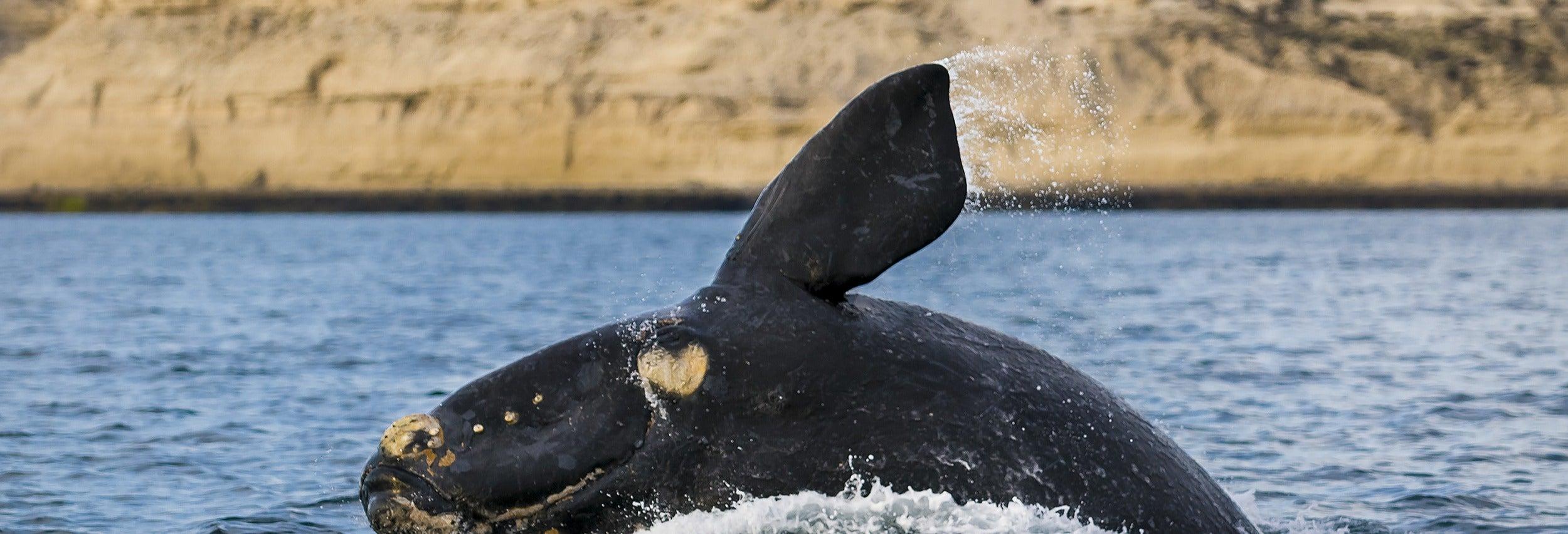 Avvistamento di balene nella Penisola di Valdès