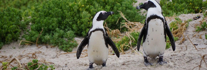 Desfile de pingüinos en la Isla Phillip