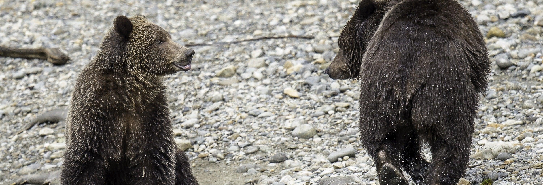 Avistamiento de osos grizzly