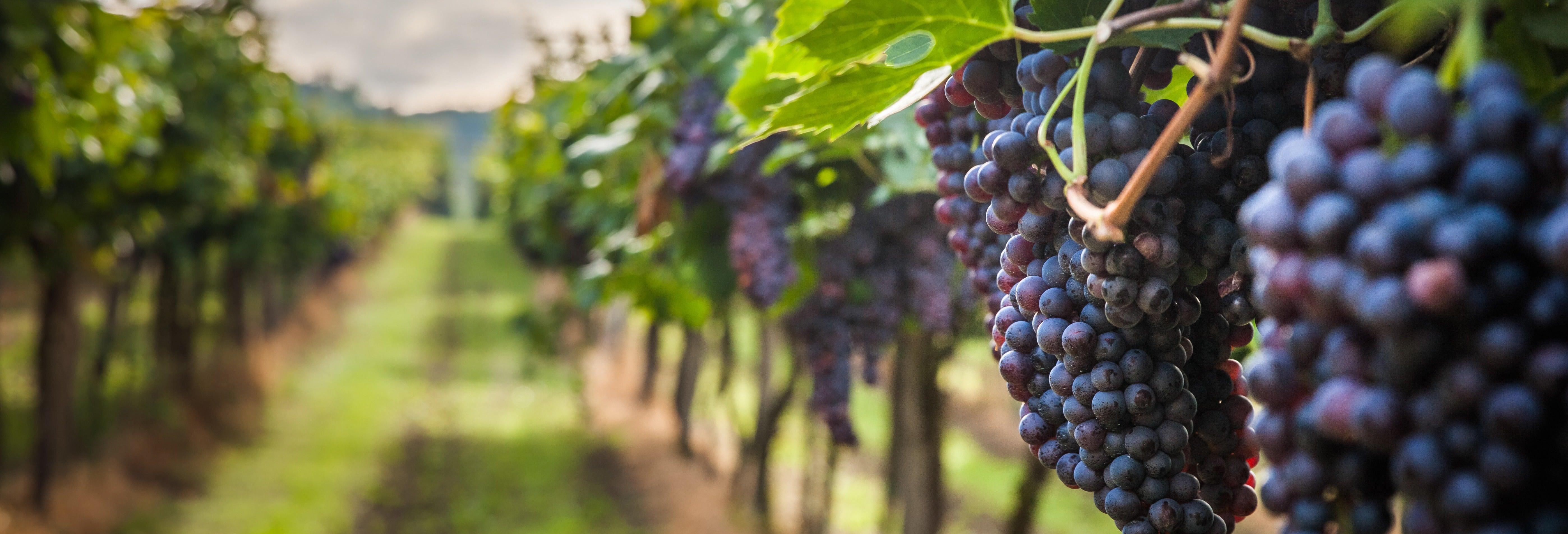 Visita a la viña Cousiño Macul