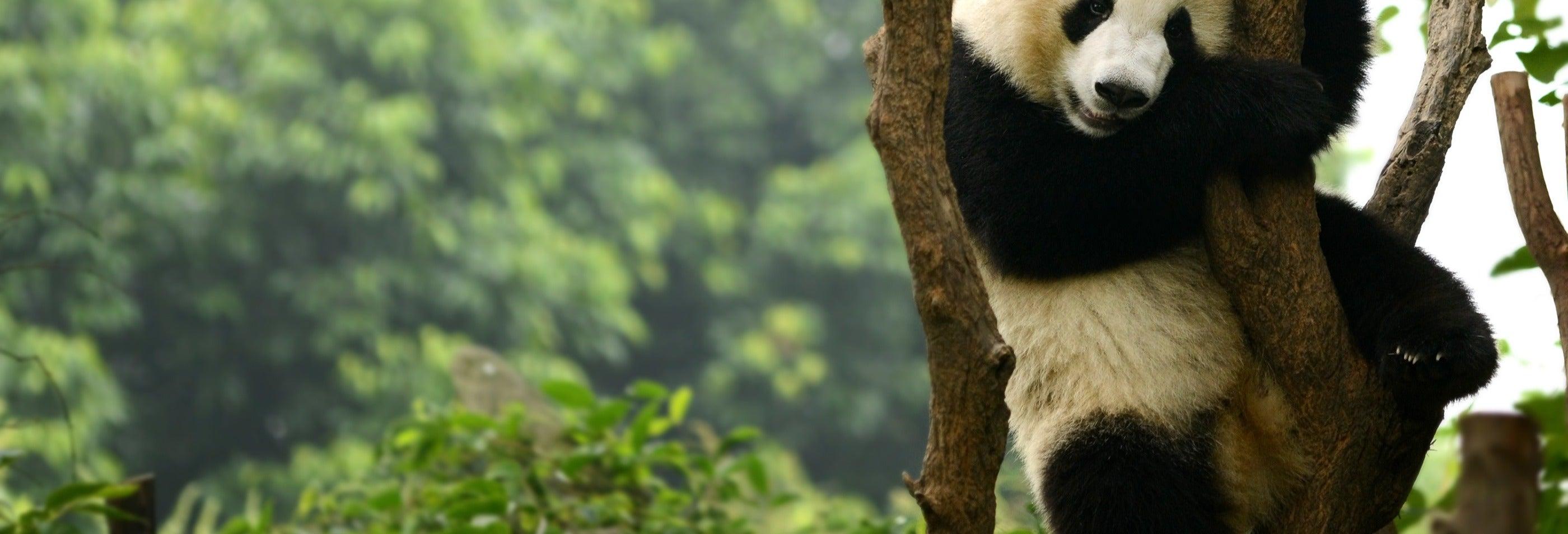 Tour por Chengdú y la Reserva de Pandas
