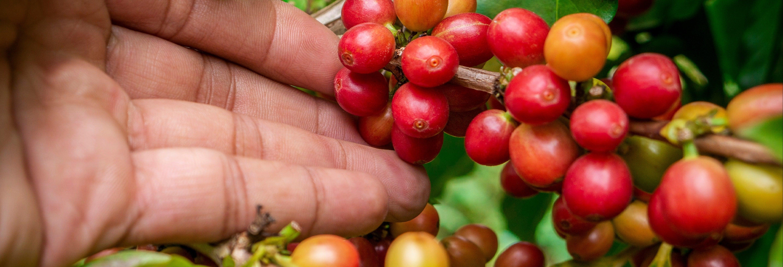 Excursion dans les plantations de café colombiennes