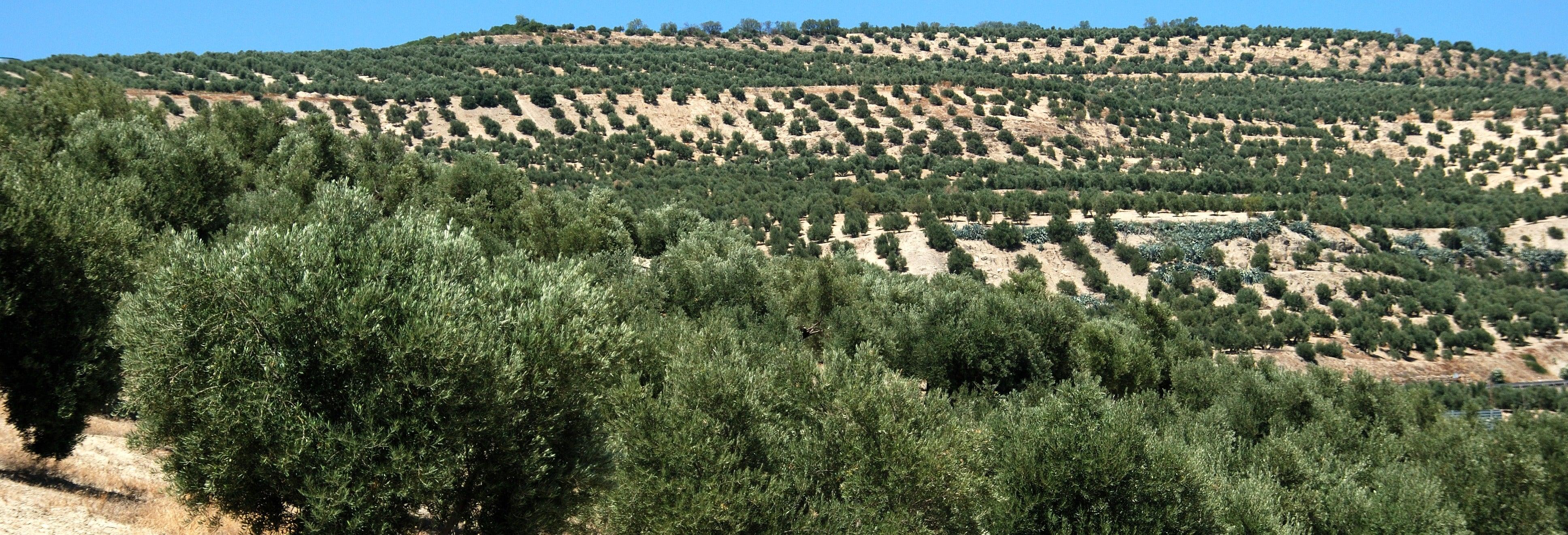 Visita a un olivar ecológico + Cata de aceite