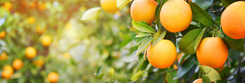 Tour por um laranjal de Carcaixent