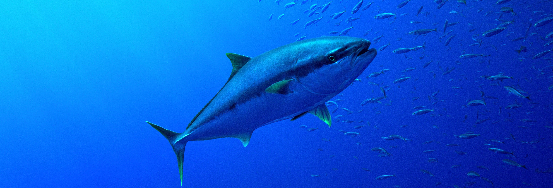 Baño con atunes en L'Ametlla de Mar