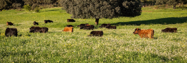 Visite d'un élevage de taureaux de combat
