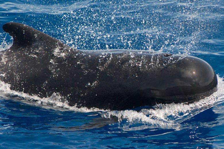 Avistamiento de ballenas y delfines en el sur de tenerife for Piscina la ballena tenerife