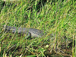 Caiman resting in the long grass