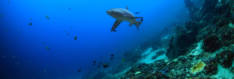 Immersione con squali volpe a Malapascua