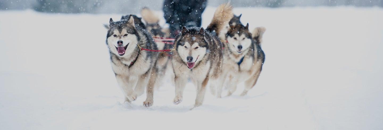 Visita a um canil de husky