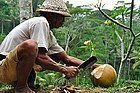 Abriendo un coco