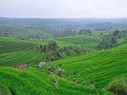 Arrozales en Bali, terrazas escalonadas