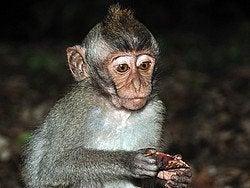 Monkey Forest, pequeño mono