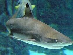 Aquarium de Barcelona, Tiburón de puntas negras