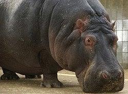 Zoo de Barcelona, hipopótamo