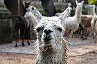 Zoo de Buenos Aires, llama