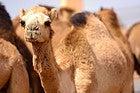 Al Ain, mercado de camellos