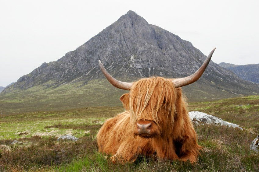 Vaca de las Highlands