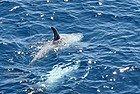 Mar Rojo: Delfines