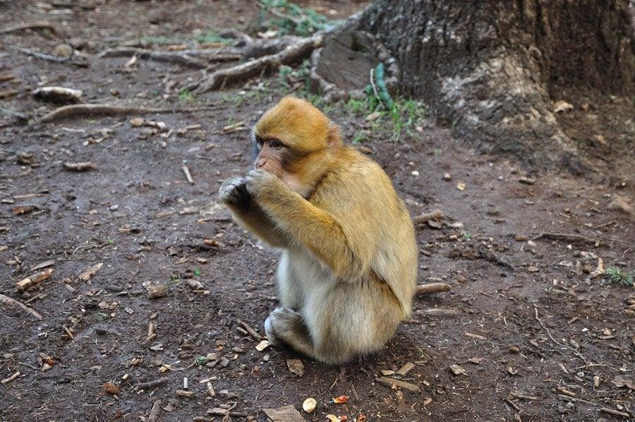 Bosque de los monos en Azrou