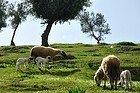Ovejas cerca del Borj Sud