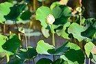 Jardín Botánico de Pamplemousses, lotos