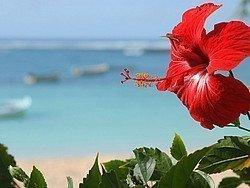 Hibiscus, una flor típica de la región