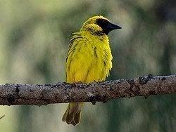 Precioso pájaro típico de Mauricio
