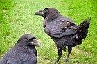Les corbeaux de la Tour de Londres
