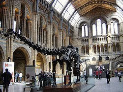Diplodocus in the Natural History Museum