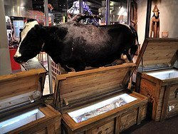 Ripley's, Believe it or not! Cow with five legs