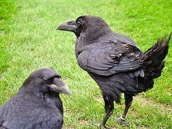 Ravens in the Tower of London