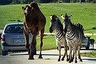 Safari Madrid, camellos y cebras
