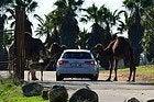 Camels in Safari Madrid