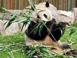 Zoo Aquarium de Madrid, Oso Panda