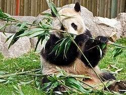 Zoo Aquarium de Madrid, Oso Panda