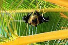 Murciélago de la fruta en una palmera