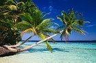 Palmera de Maldivas