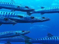 Barracudas en alta mar
