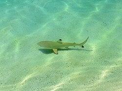 Tiburón de puntas negras