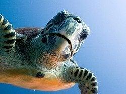 Tortuga marina curiosa