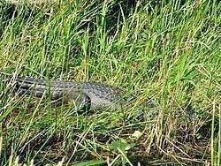 Everglades, caiman agazapado