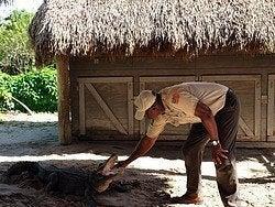 Espectáculo de caimanes en los Everglades