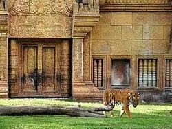 Zoo de Miami, tigre