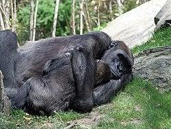 Bronx Zoo, gorilas abrazados
