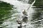 Bois de Boulogne, Swan chasing duck