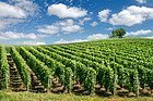 Vineyard in the region Champagne