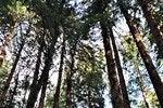 Excursión a Muir Woods y Sausalito